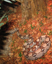 , Red Tail Boa snake for adoption