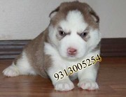 Flat 3000/- discount on all breeds....9313005254
