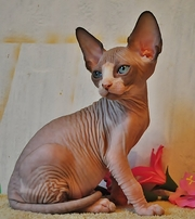 Sphynx kittens blue eyes for sale