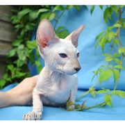 Hairless- Sphynx Kittens for new homes