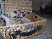 Pair Cream and Blue Sphynx Kittens for sale