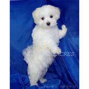 akc maltese puppy( sonshine) -ready for adoption-9weeks old.