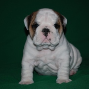 cute and lovely english bulldog puppies available for loving and carin